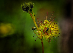 "sundew • <a style=""font-size:0.8em;"" href=""http://www.flickr.com/photos/7605906@N04/29842877735/"" target=""_blank"">View on Flickr</a>"