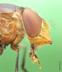 Hoverfly Focus Stacking (Maxwel Rocha) Tags: brazil macro nature animal closeup brasil canon bug insect fly flickr natureza inseto animais mosca hoverfly macrophotography sx20 macrofotografia mpe 65mm mpe65mm focusstacking macrolife focusstacker eos600d maxwelrocha hobberfly