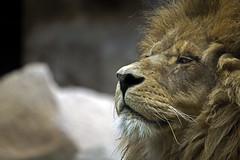 Lion (SDeb0003) Tags: park wild animal fauna cat fur mammal zoo furry feline leo lion tan pride safari strength wildcat mane carnivore
