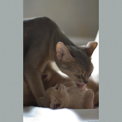 Mothers Care 1 (peter_hasselbom) Tags: cats cat 50mm daylight kitten f14 naturallight kittens fawn abyssinian twocats 2cats 2kittens