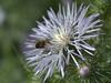 lato B dell'ape (voyager7000) Tags: sardegna macro sardinia natura fiori prato insetti nuxis voyager7000