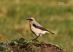 Wheatear (Harry Lines) Tags: moor staines