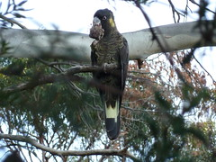 beauty (jeaniephelan) Tags: bird blackcockatoo australianbird yellowspottedblackcockatoo