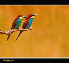 Abejarucos   (Merops apiaster) - Fotos tomadas con el filtro de la camara Olympus  Pop ART (eb3alfmiguel) Tags: aves colorphotoaward abejaruco insectívoros pájaros