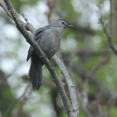 catbird-IMG_5823-crop (mandovinnie) Tags: