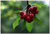 Life is just a bowl of cherries, so live and laugh at it all. (aviana2) Tags: red fruit cherry cherries explore vegetarian redfruit blueribbonwinner aviana2 sonyalpha350 fotocompetition fotocompetitionbronze