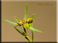 Euphorbia exigua (Fotografía de Naturaleza de Paco Moreno Gámez) Tags: madrid flora encuentro euphorbiaceae