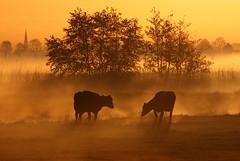 Dutch sunrise (Pepijn Hof) Tags: morning light mist holland colour nature dutch field animal fog sunrise canon landscape golden licht cow spring horizon nederland natuur fields polder ochtend landschap koe zuidholland 300mmf4 hekendorp haastrecht vlist 40d