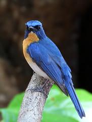 Tickell's Blue #2 (ISO 1600) (Rahul Singh Lamba) Tags: india birds pune tickellsblueflycatcher cyornistickelliae tamron70300vc