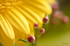 Berry nice_DSC6955 (Mel Gray) Tags: flowers macro yellow berries gerbera nikond300s persephonesgarden melgrayphotography nikon200mmmacrolens