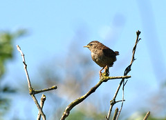 Young Wren (Mr Grimesdale) Tags: wren britishbirds stevewallace mrgrimesdale youngwren