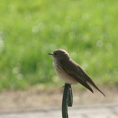 Who knows my name? (*Twinkel*'s photostream) Tags: bird cropped mei vogel soort doorhetkeukenraamgemaakt heefteennestjeineenkransaandedeur