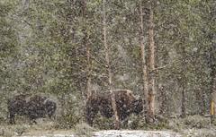 Heavy Snow (WildlifeandMore.com) Tags: park snow buffalo yellowstonenationalpark yellowstone bison mattsmith yellowstonepark snowbuffalo phototriad snowbison