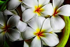 Shadows of white (xeno(x)) Tags: flowers white macro nature canon garden backyard asia frangipani xeno 2011 5d2