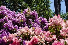 2012-05-26 05-28 Mendocino County 100 Fort Bragg, Mendocino Coast Botanical Gardens