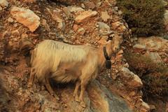 kalymnian goat (begumok) Tags: life wild mountain nature beautiful animal stone greek islands colours hill aegean horns goat greece goats horn kalymnos