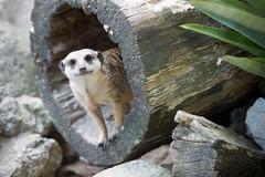 Meerkat (Wojtek Szkutnik) Tags: animals zoo meerkat krakow