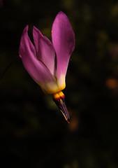 Shooting-star flower (speech path girl) Tags: flower wildflower dodecatheon