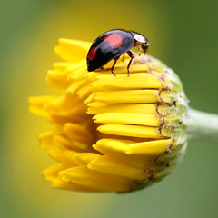 black lady , explored! ( #296 ) (bugman11) Tags: flowers flower macro nature animal animals yellow fauna canon insect ngc beetle nederland thenetherlands insects npc ladybird ladybug ladybugs beetles ladybirds icapture greatphotographers thegalaxy physis flickraward platinumheartaward 100mm28lmacro flickraward5 mygearandme mygearandmepremium mygearandmebronze mygearandmesilver mygearandmegold mygearandmeplatinum mygearandmediamond flickrawardgallery eliteladybirdsladybugs vigilantphotographersunite vpu2 vpu3 vpu4 vpu5 vpu6 vpu7