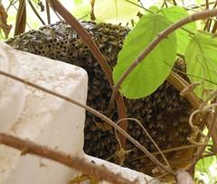 Growing bee hive (Mink) Tags: house home window bees kuwait creeper beehive kuwaiti rangoon