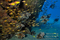The Colony II (Around The Blue World) Tags: blue underwater maurice lion bleu d100 mauritius lionfish poisson sousmarin sousmarine rascasse