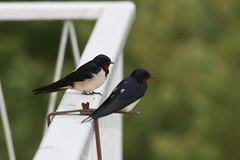Rauchschwalben 1 (Stefan_68) Tags: bird birds germany deutschland balkon pssaro swallow vgel oiseau hirundorustica vogel swallows pjaro uccello schwalbe schwalben rauchschwalbe