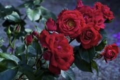 undecided (reinetor) Tags: street light flower macro rose closeup canon lens eos dof bokeh 5d damaged crease wrinkle f28 raindrop 薔薇 mark2 shallowfocus ef100 alwaysthinkingaboutyou カラー写真