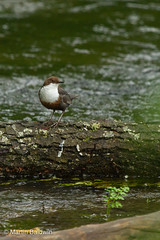 Dipper (Mart.i.an) Tags: uk greatbritain summer nature birds europe seasons unitedkingdom gb nationalparks 2012 exmoor dipper dippers npa cinclidae cincluscincluswhitethroateddipper britishbirdsbyfamily nationalparksauthority