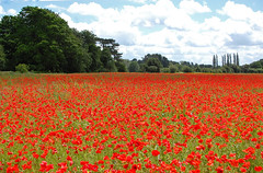 """Poppies on a summers day. (Sky and Yak) Tags: red summer flower nature rural scarlet flora europe poppy remembrance sorrow oxfordshire naturalworld flanders oxon flandersfields johnmccrae """"flickraward"""" me2youphotographylevel1 skyandyak"""