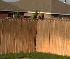 Mae likes to walk on fences