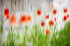Red Poppies - Simple Beauty - Dundee Scotland (Magdalen Green Photography) Tags: abstract nature scotland dundee scottish simplicity simplebeauty redpoppies 0578 coolgreen tallpoppysyndrome coolred iaingordon magdalengreenphotography