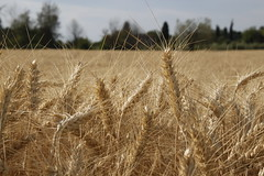 wheat (cinnamonroll.photography) Tags: nature yellow canon eos gold golden wheat cereal natura giallo cereals oro grano 500d spiga spighe dorato cereali mietitura