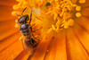 Orange feast (macropoulos) Tags: orange flower topf25 500v20f bee stamen animalia arthropoda gettyimages hymenoptera insecta halictidae apocrita apoidea canoneos5d canonspeedlite430ex 30faves30comments300views canonmpe65mmf2815xmacro gettyimages:date_added=20121004