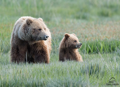 Brown Bears Pause from Feeding (Glatz Nature Photography) Tags: nature alaska wildlife brownbear motherandcub bearcub ursusarctos grizzlybear cookinlet babyanimals usnationalparks lakeclarknationalpark photocontesttnc12