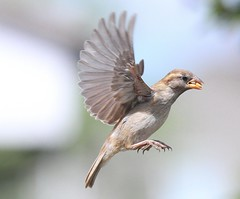 House Sparrow In Flight (2) (aaron_nikon_photography) Tags: thursday