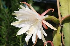 Blattkaktus (Epiphyllum) (blumenbiene) Tags: flowers cactus plant flower pflanze blte epiphyllum blten kaktus kakteen knospen blattkakteen blattkaktus