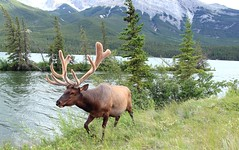 Elk Attack!  Jasper National Park (kcezary) Tags: travel vacation canada tourism nature canon outdoors holidays jasper places alberta elk paysage jaspernationalpark    primelens canonprimelens canon5dmkii canonef24f14lii mylensdb