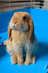 Disapproving (mylo_rabbit) Tags: pet baby brown cute rabbit bunny love animal ginger eyes furry friend sweet adorable fluffy cutie sweetie grumpy mylo grump disapproving houserabbit