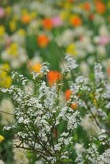 Keukenhof (Ginkgo-Biloba) Tags: keukenhof nederland bloemen fiori flowers spring lente primavera