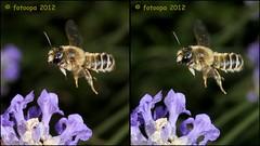 307955 cross-view (fotoopa) Tags: macro mirror stereoscopic stereophotography 3d crosseye crosseyed fotografie flight stereo thuis highspeed insecten crossview 3dphotography 3dphoto 3dmacro 3dpicture 3dfotografie highspeedmacro fotoopa 3dfoto frontmirror dslrstereo frontsidemirror crosseyedphotography 3dbeelden 3dfotoinsecten 3dbeestjes 3dinsecten