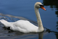 IMG_6927 (christophemurphy) Tags: lake canal swan rickmansworth aquadrome