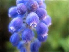 (Tlgyesi Kata) Tags: botanicalgarden debrecen grapehyacinth muscarineglectum commongrapehyacinth muscariracemosum botanikuskert frtsgyngyike withcanonpowershota620 debotkert debrecenibotanikuskert
