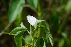 Barred Yellow 070412-179.jpg (larrysfl) Tags: butterflies insects southflorida browardcounty barredyellow euremadaira hamptonpinesparknorthlauderdale