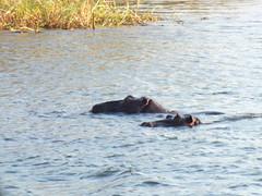 A romantic swim for two (Chris Parker2012) Tags: africa victoriafalls hippo naturalwonder zambia zambeziriver fujihs20exr hippoptimus