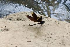 black dragonfly (steve happ) Tags: dragonfly laos tadlo salavan
