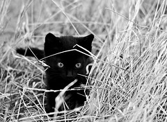BLACK CAT (Samir Cabbarov) Tags: black cat 50mm nikon nikkor f18g d5100