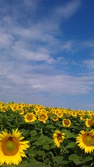 Sunflowers in Upton, Qc (pegase1972) Tags: qc québec canada quebec montérégie flower sunflower tournesol fleur upton nspp mobilephonepicture cellphonepicture getty licensed exclusive panorama panoramique