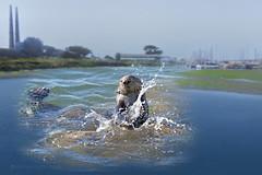 Sea Otter having brunch (thepcspud) Tags: otter cracking shell