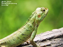 GO Green (r0ysuman) Tags: nikon p 530 sanctuary india fauna wild life dwarf garden lizard green kanpur