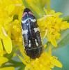 Metallic Woodboring Beetle (Keith Roragen) Tags: arizona maderacanyon insect coleoptera beetle metallicwoodboringbeetle acmaeodera